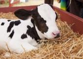 Учени отгледаха крава, която дава хипоалергенно мляко