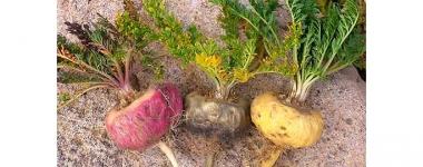 Мака – Естествената перуанска Виагра повишава физическата и сексуална енергия и издръжливост