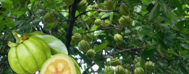 Спирачката за отлагането на мазнини Garcinia Cambogia